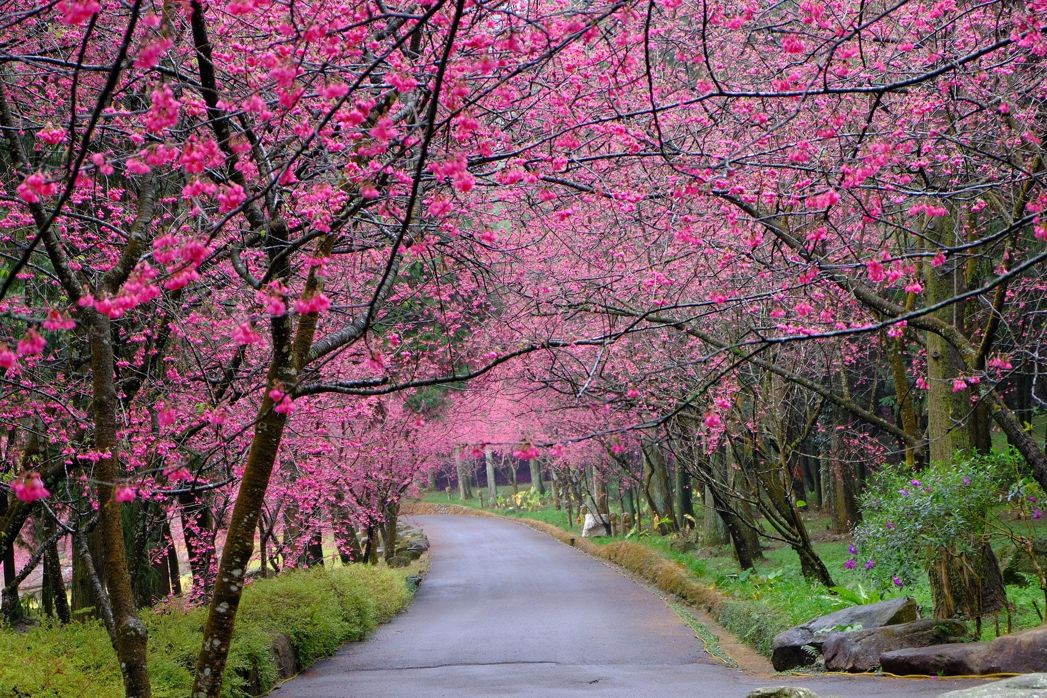 Mùa xuân ở Đài Loan có hoa anh đảo nở rộ.